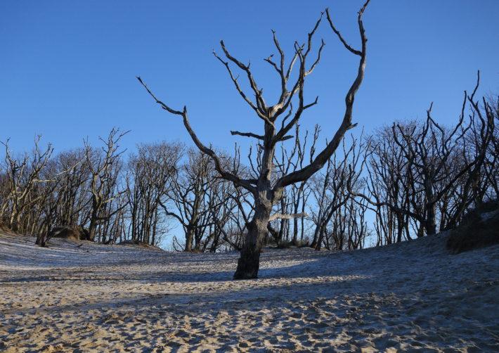 dunes tree 1
